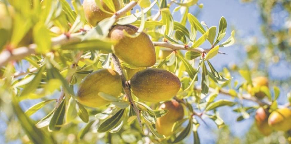 L'importance du système agropastoral à base d'argan reconnue par la FAO
