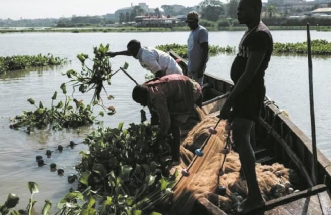 La jacinthe d'eau, fléau vert qui ronge le cœur bleu de l'Afrique