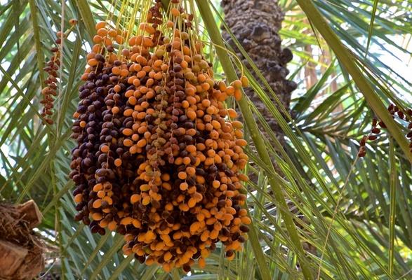 """Une société marocaine reçoit le Prix international Khalifa du """"palmier dattier et de l'innovation agricole"""""""