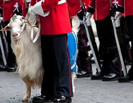 Insolite : Une chèvre pour maire