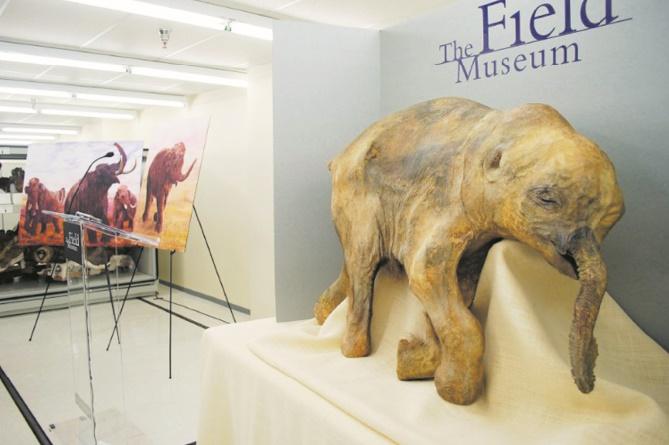"""Le mammouth et la souris, des cellules """"réveillées"""" après 28.000 ans"""