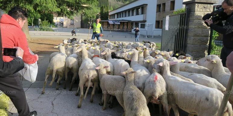 Insolite  : Des moutons à l'école
