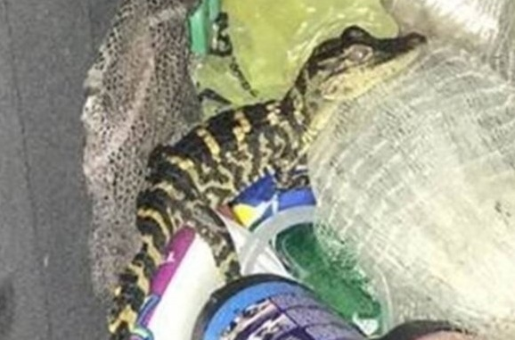 Insolite : Un alligator dans le pantalon