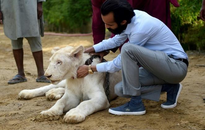 Insolite : Des lions comme animaux de compagnie