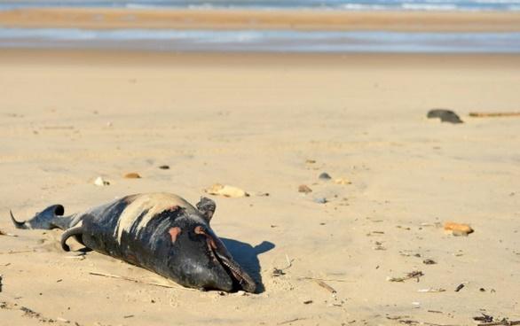 Mort mystérieuse de 34 cétacés près des côtes toscanes
