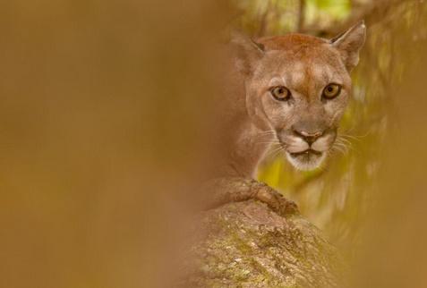 Insolite : Lynx et panthères