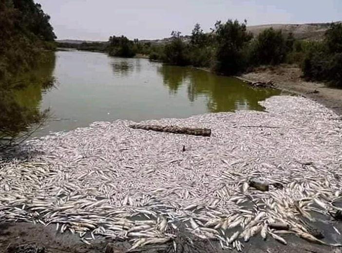 Des centaines de poissons morts asphyxiés en bordure de l'Oued Massa