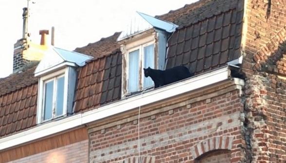 Insolite : Panthère noire