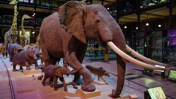 Les animaux mâles sur-représentés dans les musées d'histoire naturelle