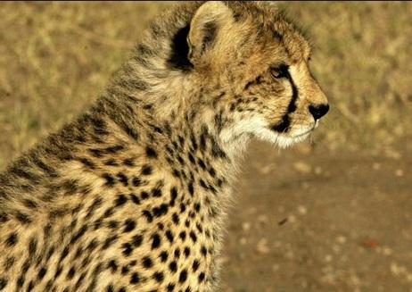 La Cour suprême indienne approuve la réintroduction de guépards