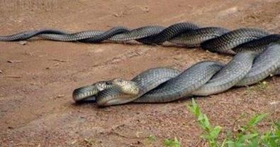 Insolite : Accouplement de serpents