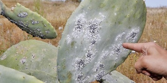 La cochenille fait des ravages à Sidi Ifni