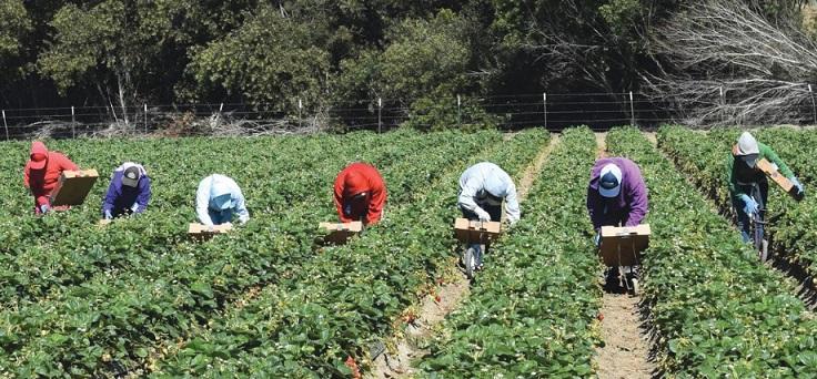 La délivrance : Les saisonnières marocaines de la cueillette des fraises espagnoles retrouveront la mère patrie incessamment