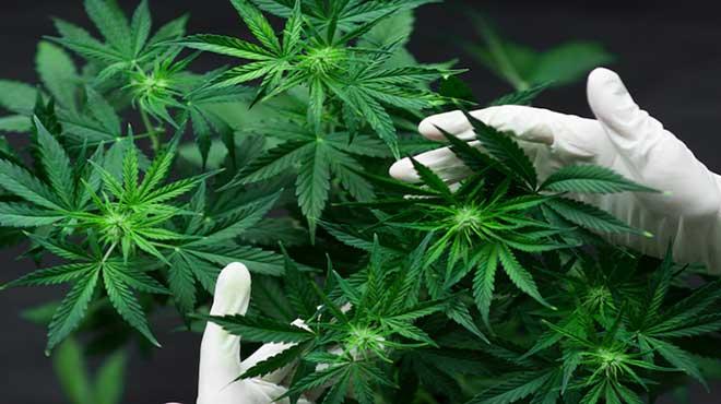 Le cannabis reconnu médicalement utile par l'ONU