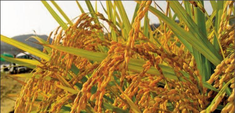 Une production record de blé et de riz attendue à l'échelle mondiale