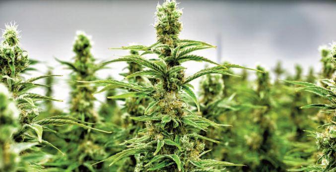 Percevoir le cannabis tout autrement