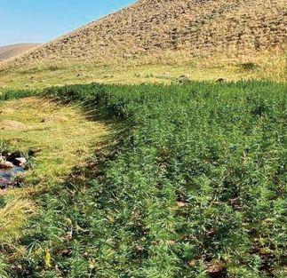 Le projet de loi portant sur l' usage licite du cannabis disséqué à Taounate