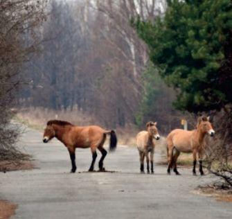Le cheval de Przewalski, symbole de la nouvelle vie à Tchernobyl