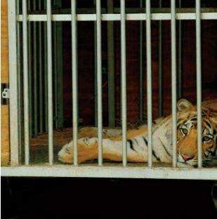 Un tigre en liberté retrouvé au Texas après une semaine de recherches