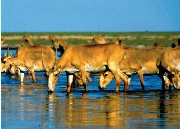 La population de l'antilope saïga a plus que doublé depuis 2019