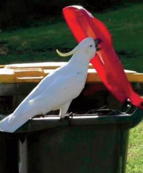 Rien n 'arrête les cacatoès, pas même un couvercle de poubelle