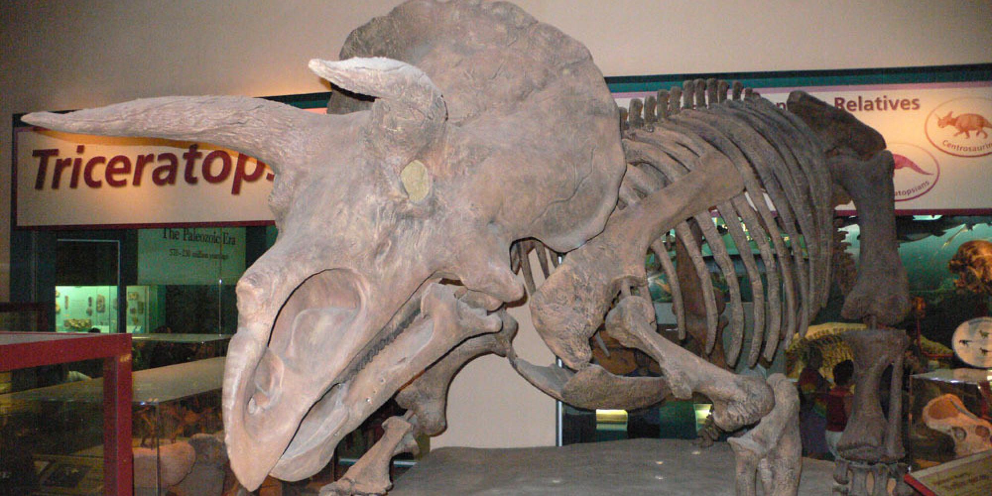 La famille des tricératops s'agrandit après la découverte d'un nouveau dinosaure