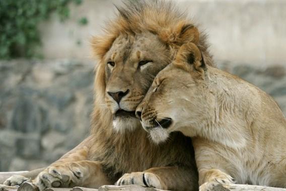 La vente d'os de lion prospère en Afrique du Sud