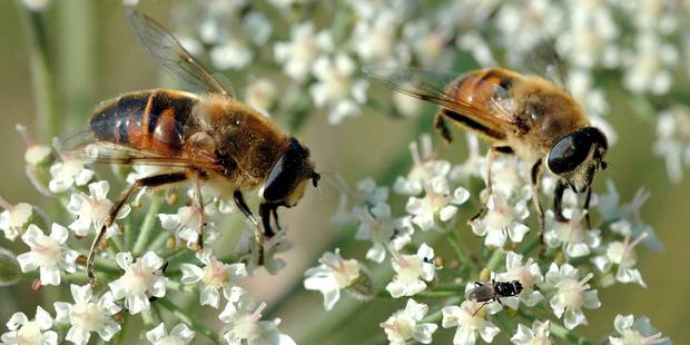 La disparition des abeilles pourrait causer plus d'un million de morts par an dans le monde