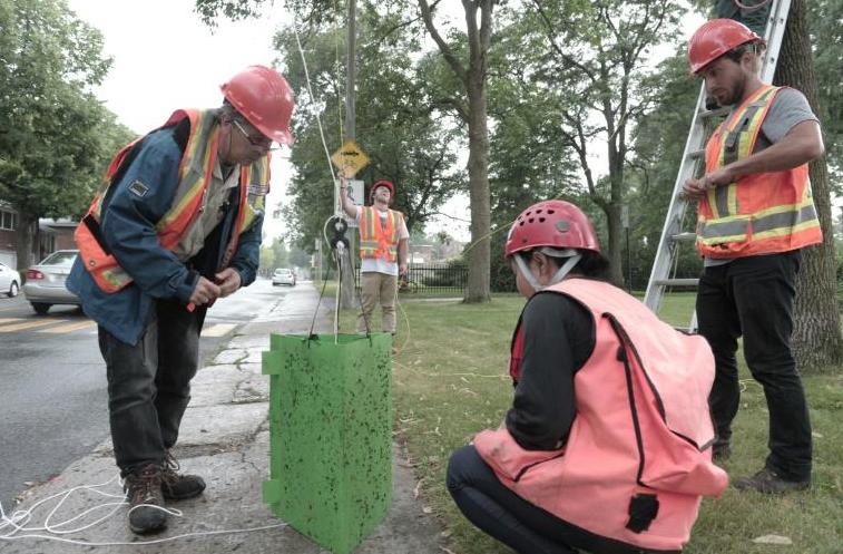 Montréal teste un champignon pour freiner les ravages d'un insecte