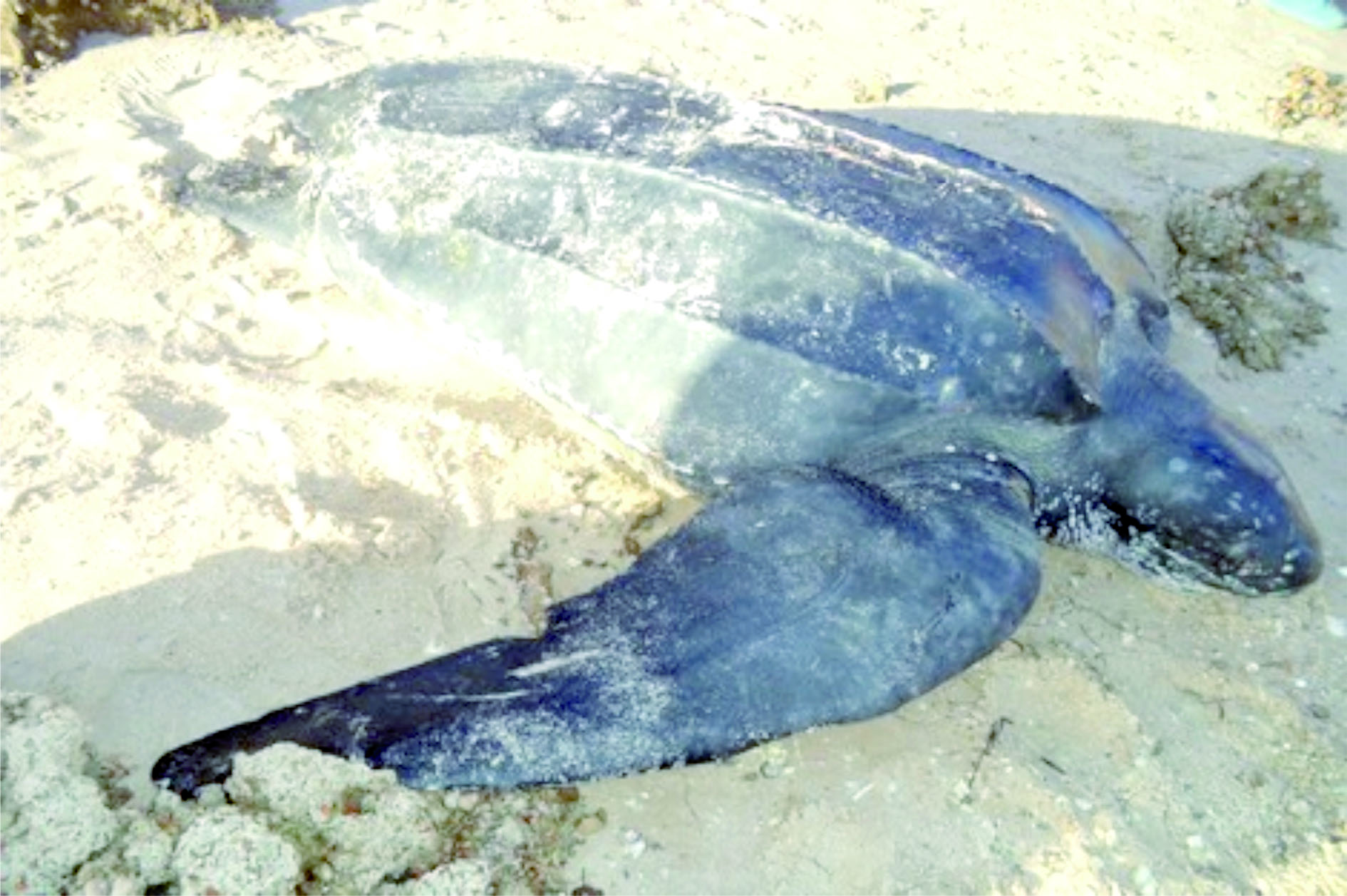 Une tortue géante échoue près de Dakhla