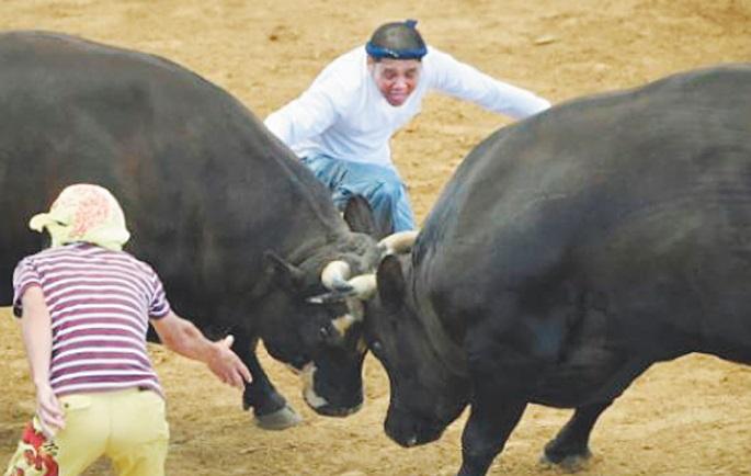 Au Japon, le combat de  taureau se passe de matador
