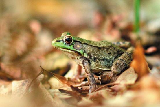 Plus de grenouilles femelles que de mâles dans les banlieues américaines