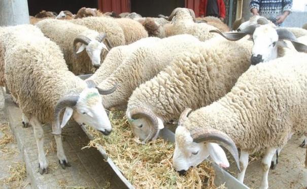 L'offre en cheptel ovin et caprin destiné à l'abattage couvrirait largement la demande
