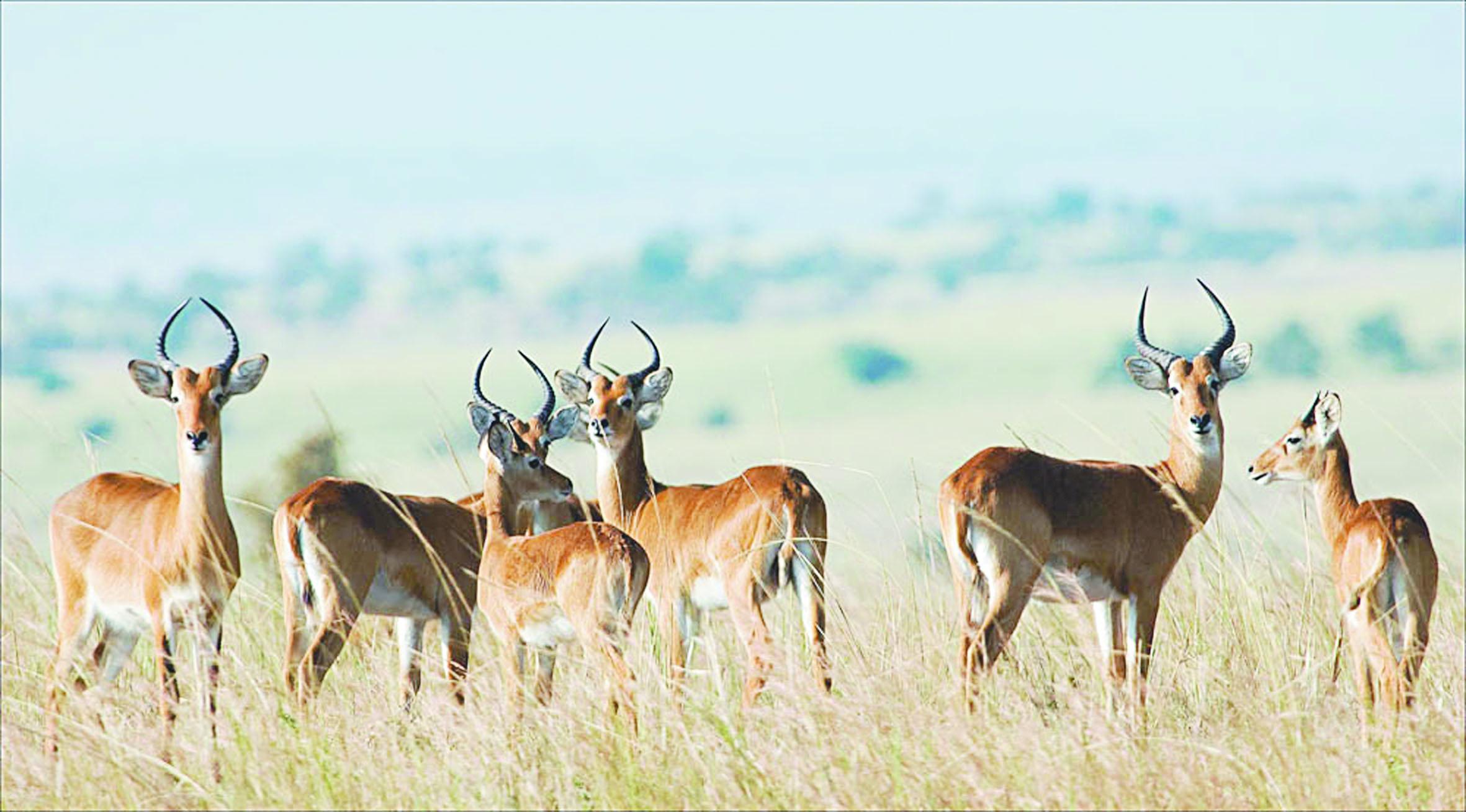Les antilopes se sentent dans leur milieu naturel à Safia