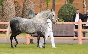 C'est parti pour le concours des chevaux arabe-barbe