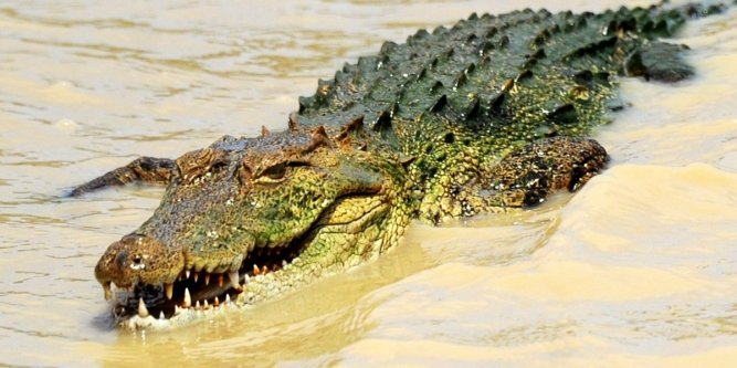 Le crocodile marin ne dort que d'un œil