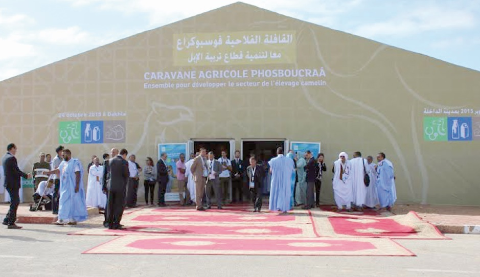 A Dakhla, l'élevage camelin à l'honneur