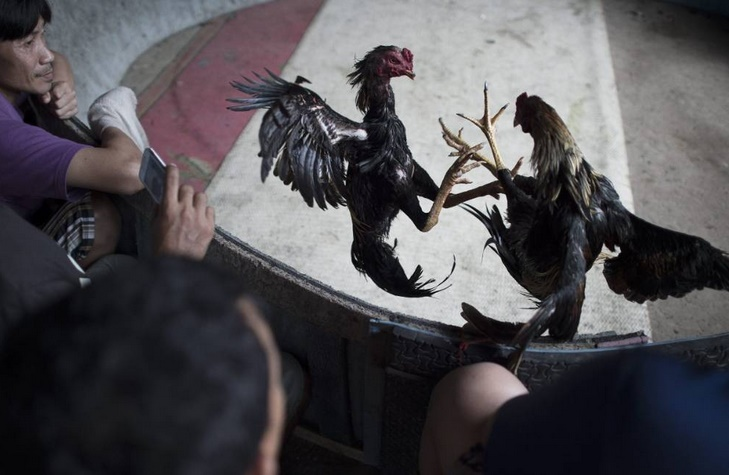 Les combats de coqs en Thaïlande, rare jeu d'argent autorisé, au nom de la tradition
