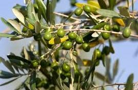 La Foire nationale de l'olivier de Ouazzane à l'honneur