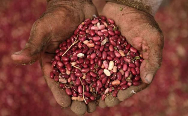 Des haricots magiques défient la sécheresse en Amérique centrale