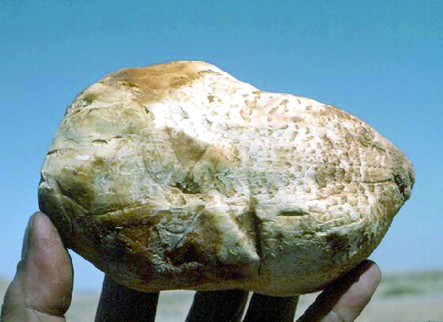 La truffe blanche du désert dévoile ses secrets