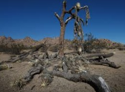 De grands arbres menacés par la sécheresse en Californie