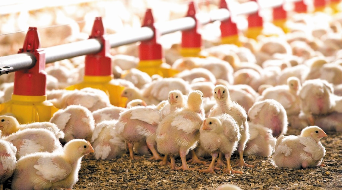 Le Maroc gèle toute importation de volailles à partir de l'Europe