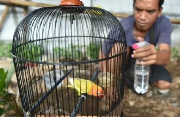 Des milliers d'oiseaux exotiques menacés dans des forêts pillées en Indonésie