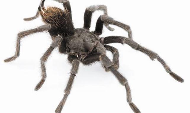 Une araignée du nom de Johnny Cash