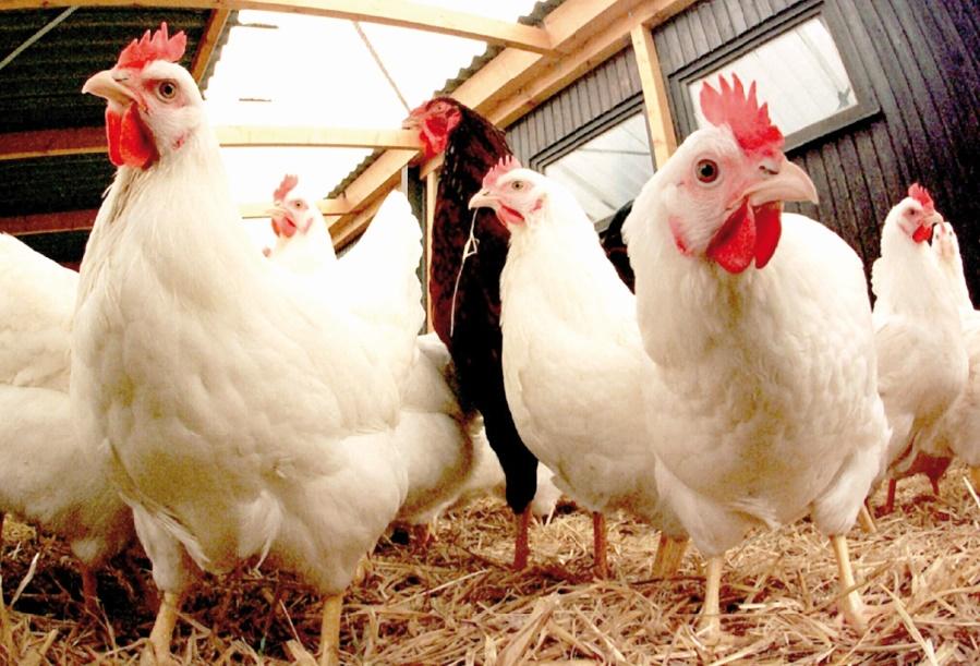 Des mesures prises pour lutter contre l'influenza aviaire