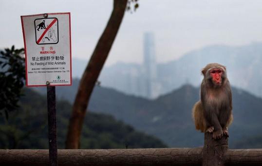 C'est l'année du singe mais à Hong Kong, les macaques agacent