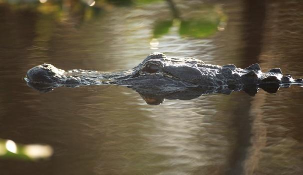Les alligators, voisins intéressés des oiseaux