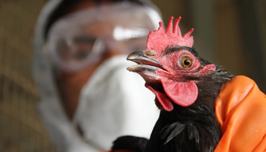 H9N2, une grippe sans danger ?