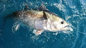 Nouvelle zone de reproduction des thons rouges  dans l'Atlantique